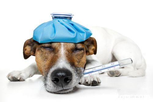 狗狗胰腺炎症状有哪些 狗狗胰腺炎的早期症状表现1
