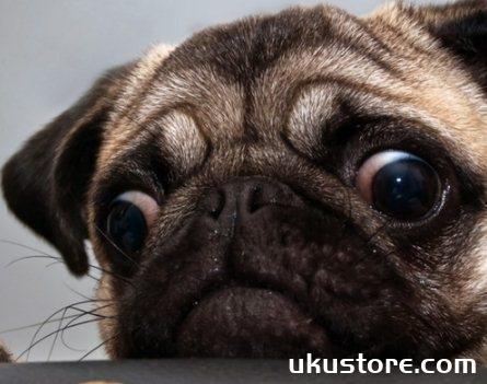 狗狗眼睛红了怎么办 狗狗眼睛发红眼屎多解决方法1