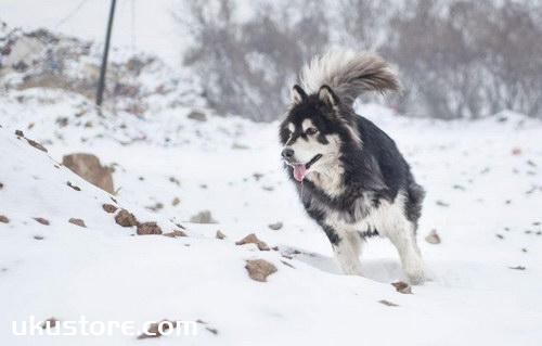 阿拉斯加犬怎么训练 阿拉斯加犬训练教程1