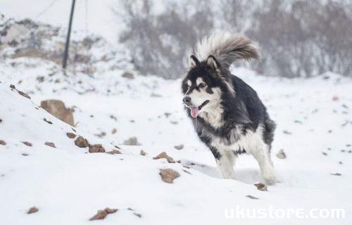 阿拉斯加吃什么牌子的狗粮好 阿拉斯加犬狗粮选择推荐