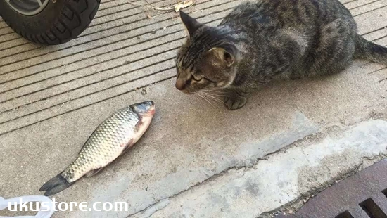 Can a baby cat eat fish, how can cats eat fish?illustration1