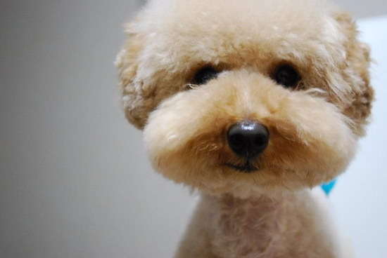 How to take care of Teddy puppies in Teddy puppiesillustration2