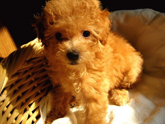 泰迪幼犬刚到家怎么照顾 泰迪幼犬饲养方法1
