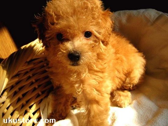 泰迪犬怎么训练大小便 训练泰迪犬定点大小便视频1