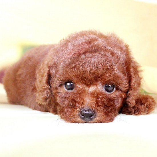 How to take care of Teddy puppies in Teddy puppiesillustration1