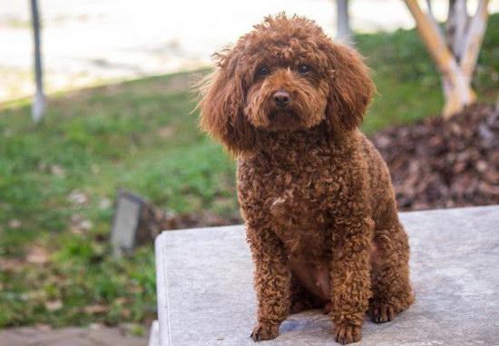 泰迪犬生产前有何征兆 泰迪犬生产前的征兆1