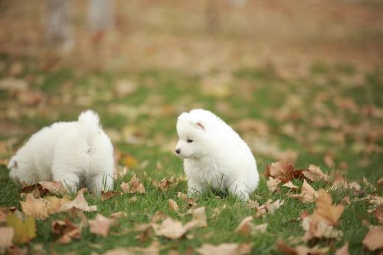 萨摩耶怎么养 两三个月到成年的萨摩耶犬饲养方法1
