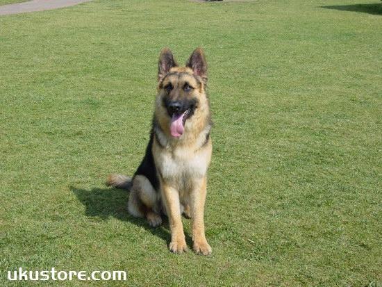 德牧什么时候开始训练好 德国牧羊犬最佳训练时间