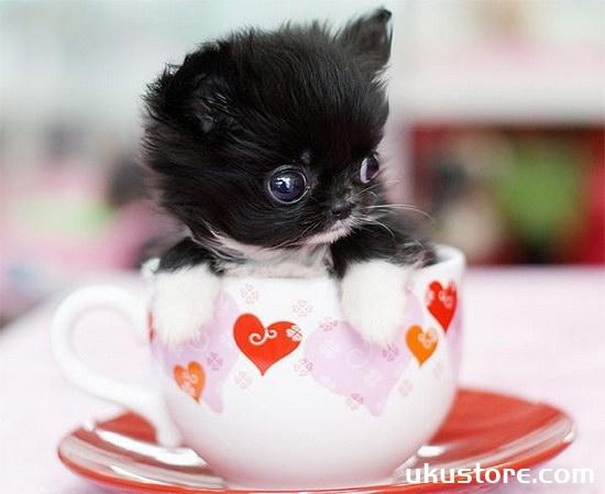 茶杯犬怎么养 茶杯犬饲养方法及注意事项1