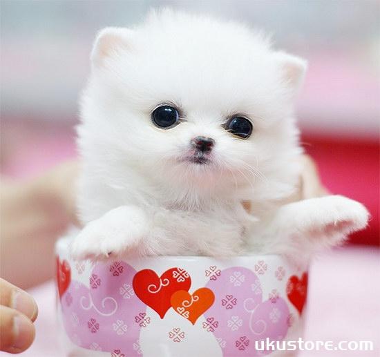 Tea Cup dogs to raise teacup dog breeding methods and precautionsillustration1