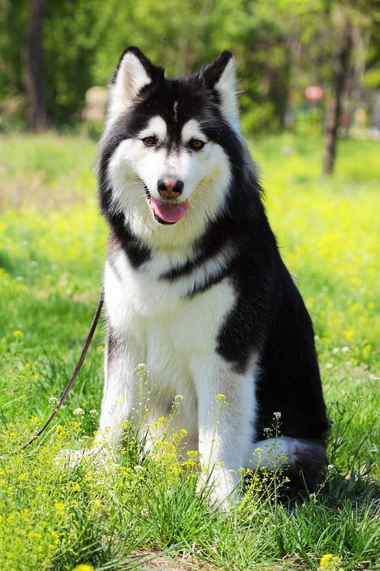 阿拉斯加犬怎么养 阿拉斯加雪橇犬养殖方法0
