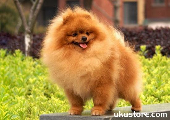 博美犬怎么养 博美犬饲养方法和注意事项1