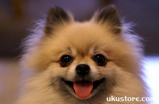 How to raise Pomeranian breeding methods and precautionsillustration1