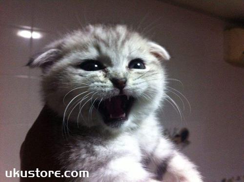 折耳猫幼猫吃什么 幼猫喂养攻略