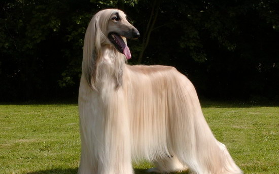 阿富汗猎犬为什么被禁养 阿富汗猎犬被禁养原因1