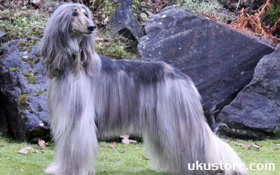 Afghan hound how to raise Afghan hound breeding method sharingillustration1