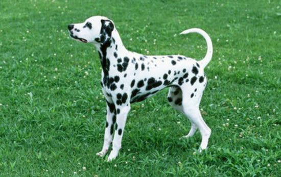 How to raise spot dog breeding precautionsillustration1
