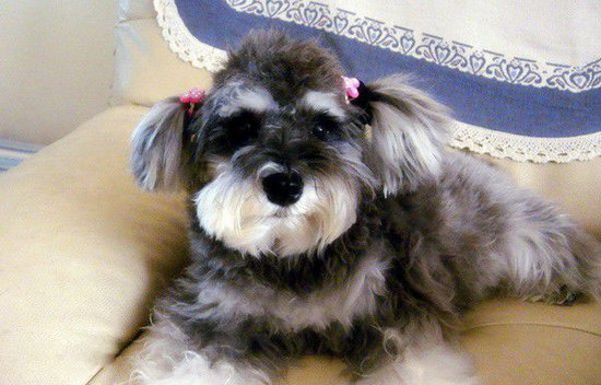 How to raise Schnauzer and pay attention to Schnauzerillustration3