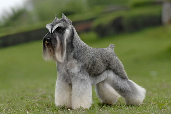 How to raise Schnauzer and pay attention to Schnauzerillustration1