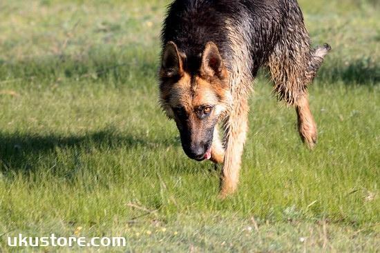 德国牧羊犬怎么训练叼东西 德牧捡东西训练教程1