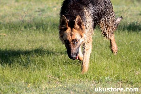 德牧怎么洗澡 德国牧羊犬洗澡方法及注意事项