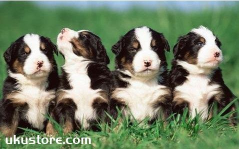 狗狗几个月开始训练 幼犬几个月开始训练最好1