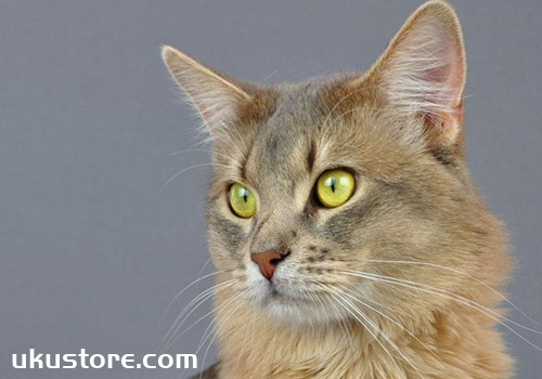 索马里猫怎么养 索马里猫饲养技巧