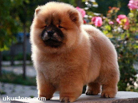 How to train, Chow Chow dog training tutorialillustration1