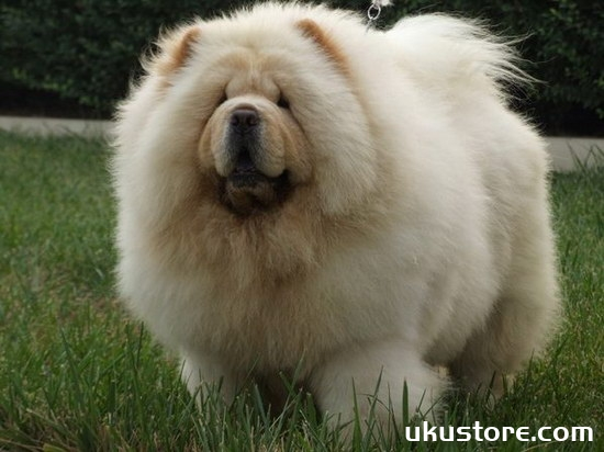 How to feed Chow Chow Dog Feeding Method and Precautionsillustration1