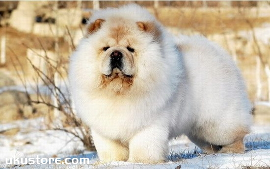 How to train, Chow Chow dog training tutorialillustration2