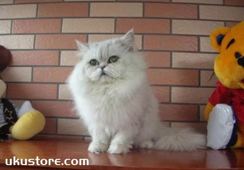 褴褛猫怎么养 褴褛猫饲养方法
