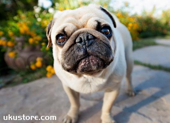 巴哥犬怎么训练 巴哥犬训练教程1