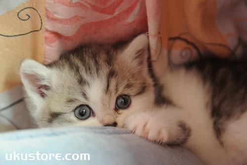 没长牙齿的猫咪怎么喂养 小奶猫喂养指南
