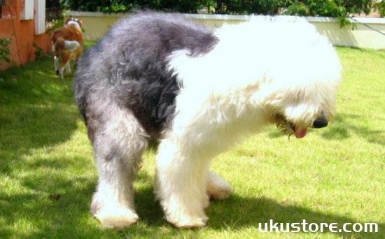 古牧犬怎么养 古代牧羊犬饲养方法1