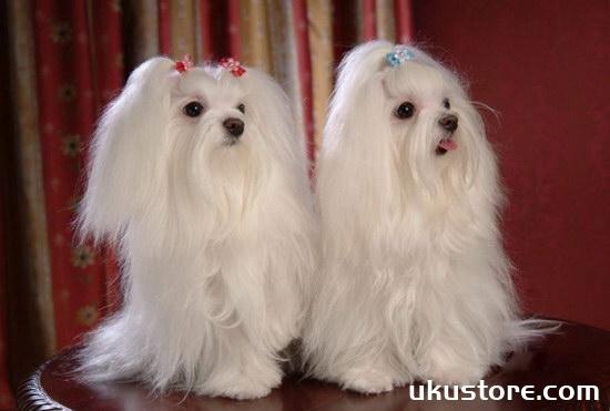 马尔济斯犬怎么养 马尔济斯犬饲养方法及注意事项1