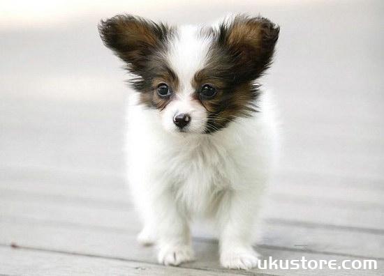 蝴蝶犬幼犬怎么养 蝴蝶犬饲养注意事项1