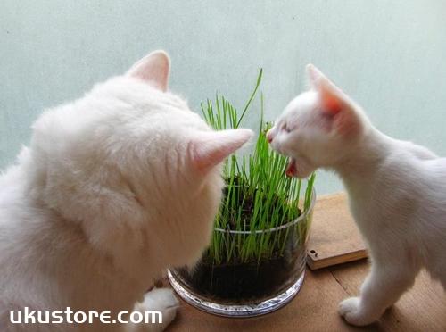 猫草和化毛膏哪个效果更好 二者效果选择推荐