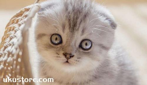 折耳猫为什么不能养 折耳猫不能饲养原因