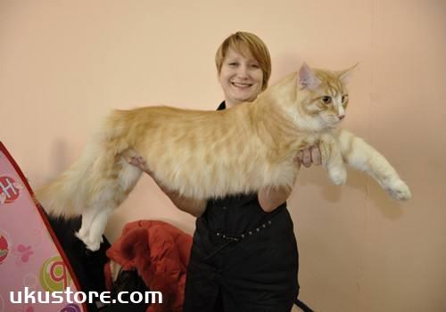 缅因猫能长多大 大体形缅因猫