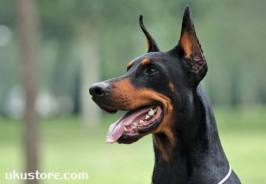 How to train Dubin dogs, Dubin dog training method skillsillustration1
