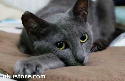 俄罗斯蓝猫好养吗 俄罗斯蓝猫性格特点