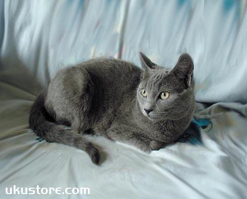 俄罗斯蓝猫怎么喂养 蓝猫喂养要点