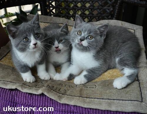 英国短毛猫怎么护理 英短日常护理
