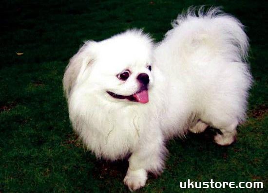 How to raise Jingba dog breeding nursing methodsillustration2