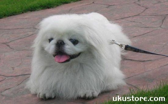 京巴狗怎么养 京巴犬饲养护理方法1