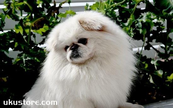 京巴狗怎么训练 京巴犬训练方法1