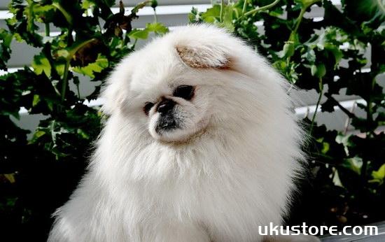How to raise Jingba dog breeding nursing methodsillustration1