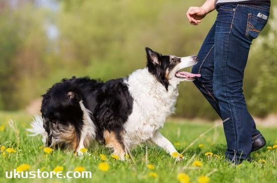 How to train border shepherd dogs, border shepherd training methods and common senseillustration2