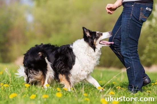 How to raise border shepherd breeding methodsillustration2