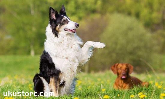 How to train border shepherd dogs, border shepherd training methods and common senseillustration1